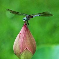 Lotus Sacred