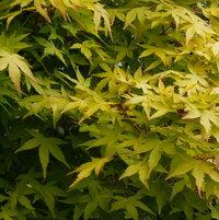 Japanese Maple 'Ueno Yama'