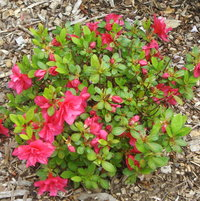Azalea Girar's Hot Shot.