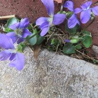 Violas - cascading