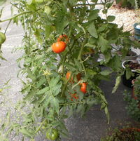 Tomatoes in a Topsy-Turvy bag