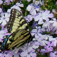 Eastern Tiger Swallowtail on Creeping Phlox - one of the 1st of this year