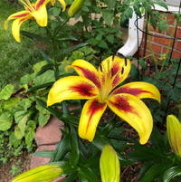 Pieton Lily