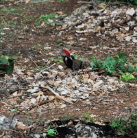 April 29th Again the Pileated Woodpecker is cleaning up and eating the bugs from the fallen trees.