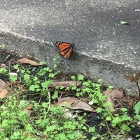 "A Monarch Butterfly ""puddling"" on damp concrete"