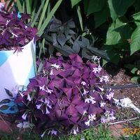 Purple shamrock. Love 'em!