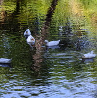 Almost 'Four White Ducks on a Pond'...