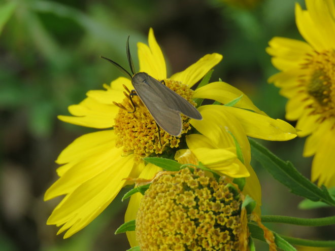 Yellow-collared Scape Moth on False Sunflower .. a fascinating visitor with wings .. check him out !