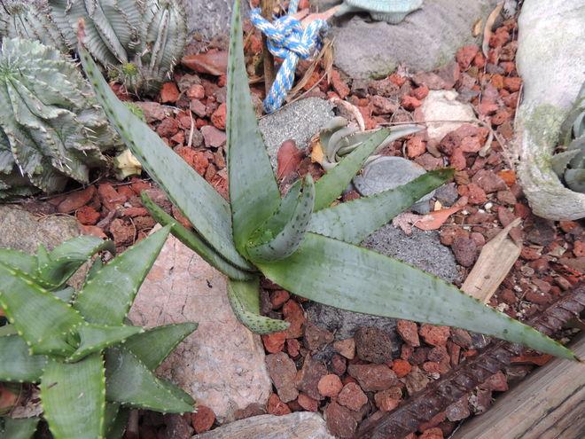 Aloe conifera