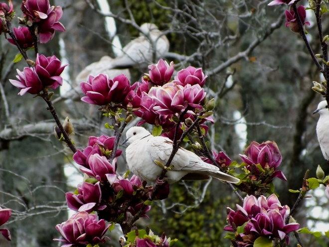 Barbary Doves in Bill's Flowering Magnolia Tree