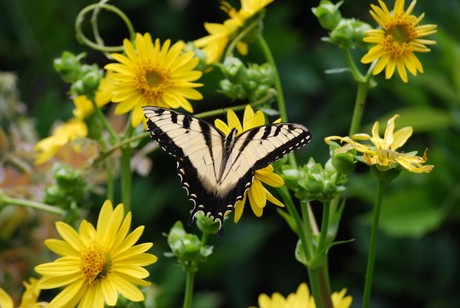 Swallowtail on Cup Plant