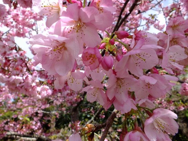 Flowering Cherry Bloosom 'Accolade' perhaps?