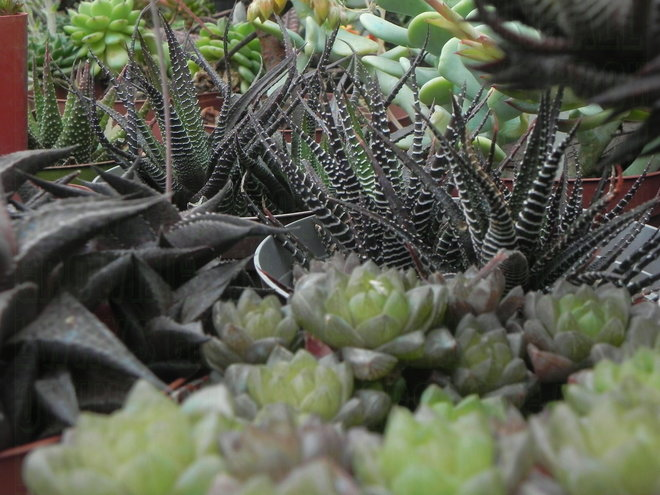 Just these few varieties of Haworthia grouped together, show the range of shape, color, and texture