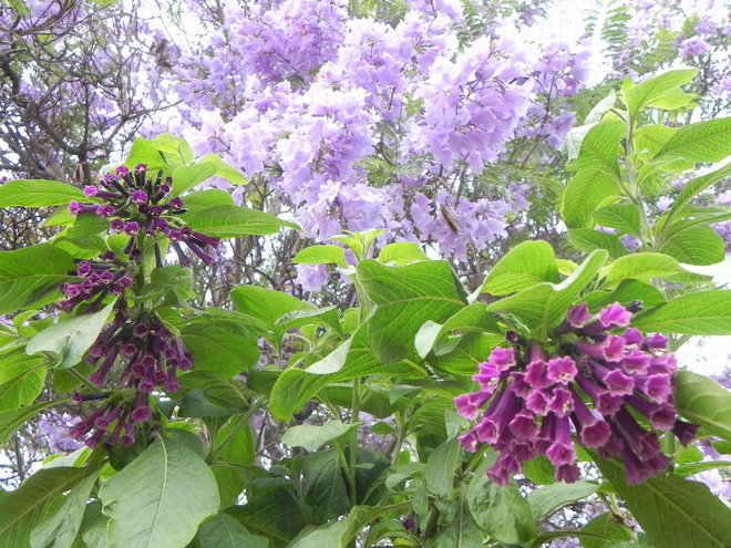 The two tones of these  Iochroma hybrids go really well with the lavender flowers of Jacaranda mimosifolia.