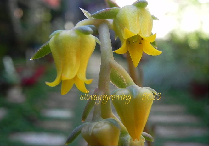 These yellow flowers of Echeveria pulidonis make me crave a slice of lemon meringue pie.