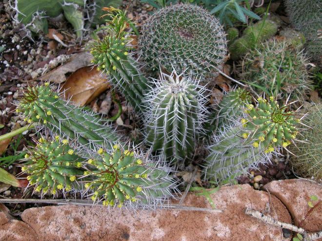 Euphorbia fruticosa is a nice hardly clumping plant- hard to kill