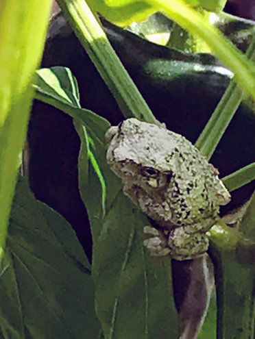 We also grow tree frogs, who happen to like spawning in our rain barrels. This frog is only a half inch long.