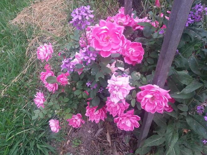 Minnie's Roses