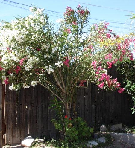 My tri-color oleander tree.